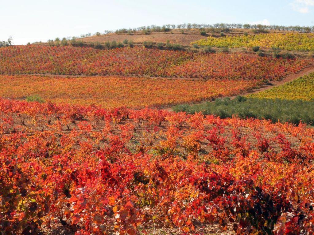 Garnacha vynuogės iš Cariñena regiono