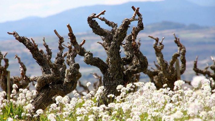 LLOPART vynmedžiai