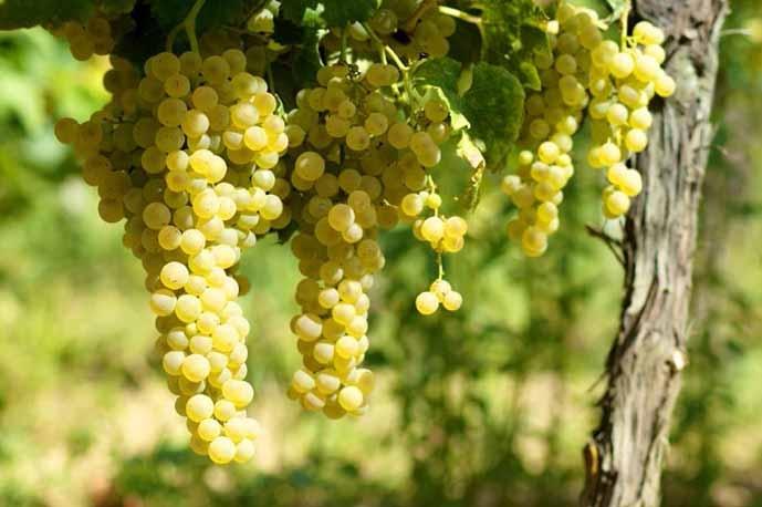 Toskanos baltos vynuogės